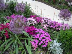 Favorite Neighborhood Garden, continued (Shamanic Shift) Tags: pink flowers gardens garden purple urbangarden citygarden neighborhoodgarden favoritegarden saintpaulsepiscopalchurchgarden