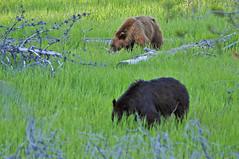 Twins- (*97) Tags: montana glaciernationalpark grazing blackbears eatinggrass twobears twinbears flatheadcounty