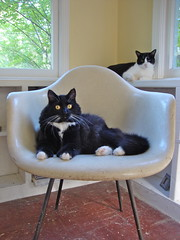 the Jetsons (rootcrop54) Tags: portrait cat catwomen chair chat idaho gato batman fiberglass eames  macska gatto kot sunroom koka kedi chatte katt kissa kttur maka kucing   kat  maek kais cc200 gorbe pisic
