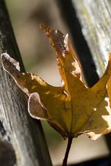 verloren (gek-ko) Tags: autumn fall herbst blatt gekko mygearandme