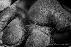 Paw. (locko75) Tags: blackandwhite closeup paw simba mastif scaley d5000 dougedebordeaux