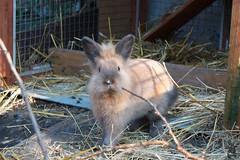 Flicker im neuen Zuhause / Flicker at his new home (superclaerchen) Tags: pet rabbit bunny animal tier flicker kaninchen zwergkaninchen lwenkopf lwchen superclaerchen kaninchengehege