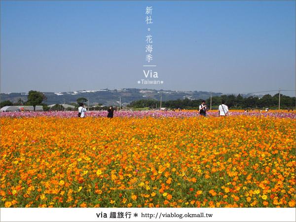 【2010新社花海】via帶大家欣賞全台最美的花海!6