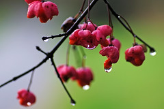 Autumn raindrops (ste.it) Tags: autumn red macro rain droplets drops da raindrops euonymus autunno bacche pioggia spindle gocce rosse prete berretta europaeus fusaggine
