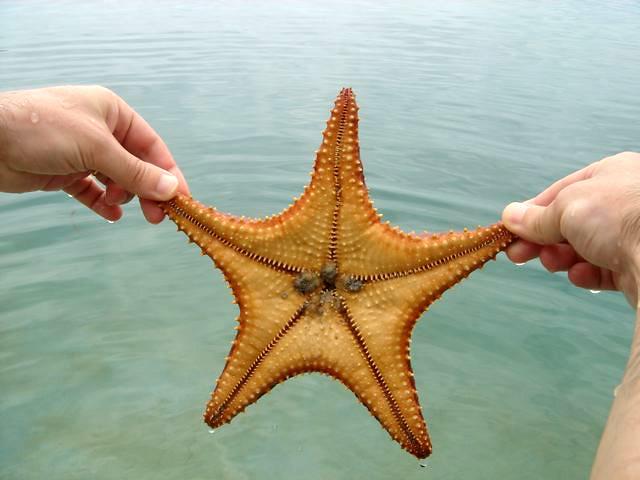 Estrelas do mar em Bocas del Toro, Panamá