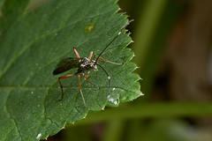 Ichneumon wasp #4 (Lord V) Tags: macro bug insect wasp ichneumon