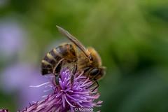 HoneyBee-0004.jpg (vorneo) Tags: classinsecta honeybee kingdomanimalia europeanhoneybee bee familyapidae wild westernhoneybee genusapis phylumarthropoda speciesamellifera binomialnameapismellifera orderhymenoptera