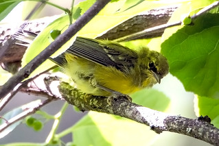 Lawrence's Warbler x Blue-winged Warbler