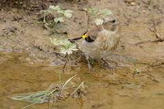 Madame Chardonneret à la mare (christiane-krysia) Tags: oiseau chardonneret nature