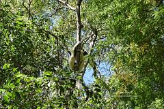 Verreaux's sifaka (Propithecus verreauxi), Tsingy de Bemaraha National Park, Madagascar (jitenshaman) Tags: travel destination worldlocations africa madagascar malagasy nature wildlife nationalpark reserve species forest park tourism natural mantadianationalpark lemur lemurs sifaka sifakas endangered threatened criticallyendangered endangeredspecies primate primates mammal mammalia chordata animal wild cute propithecusverreauxi verreauxssifaka verreauxs indriidae strepsirrhini propithecus tsingy tsingydebemaraha tsingydebemarahanationalpark greattsingy unesco unescoworldheritagesite tree