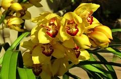 orquídea (jakza - Jaque Zattera) Tags: serragaúcha flor ramo orquídea amarelo