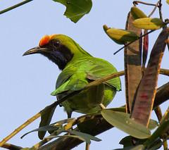 Golden-fronted Leafbird (GaryKurtz) Tags: goldenfrontedleafbird birdsofthailand beautifulbird garykurtzbirdphotos kaengkrachan
