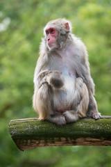 2017-07-02-14h47m36.BL7R2930 (A.J. Haverkamp) Tags: canonef100400mmf4556lisiiusmlens amsterdam noordholland netherlands zoo dierentuin httpwwwartisnl artis thenetherlands japansemakaak japanesemacaque nl