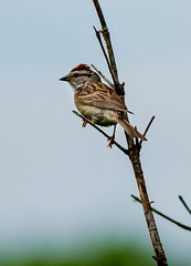 Chipping Sparrow (johnny4eyes1) Tags: chipping birds summer bokeh wildlife sparrow caumsett nature