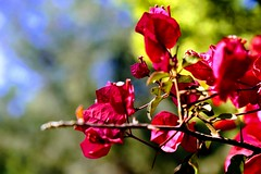 Pretty in red (Rod Anzaldua) Tags: flower flora 7dwf bugambilias puebla