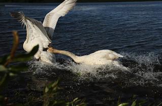 Cygne trompette - Trumpetter Swan