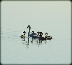 DSCN7338 (DianeBerky19) Tags: muteswan cygnets familyofmuteswans nikon coolpixp900 birds