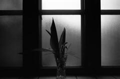 Frosted glass (Snap Shooter jp) Tags: leica blackandwhite bw film window kitchen glass monochrome leaves silhouette japan kodak 28mm rangefinder mp yokohama blackdiamond yamate trix400 leicaelmarit28mmf28iv flickrestrellas
