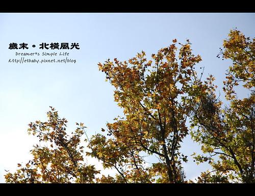 偶遇金黃楓樹