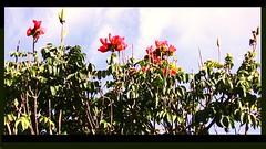 Brasilien-Iguassu - Baumkrone (roba66) Tags: park flores flower nature brasil nationalpark flora blossom natur flor pflanzen natura brasilien iguazu natures iguacu iguassu blüten flori iguassufloraundfaunaimuamregenwaldupark roba66 iguassuwasserfall