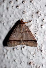 Plecoptera recta, male (Erebidae: Anobinae) (Dr. Alexey Yakovlev) Tags: cameronhighlands erebidae anobinae moth malaysia