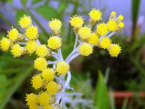 flores de curry