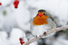 Rudolph the Rednose Robin (Roeselien Raimond) Tags: winter snow bird robin canon berry erithacusrubecula erithacus sneeuw 7d europeanrobin vogel songbird naturephotography roodborstje roodborst naturesfinest passerine zangvogel natuurfotografie muscicapidae specanimal mywinners besje avianexcellence roeselienraimond