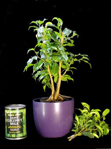 6MonthOld FicusPruned
