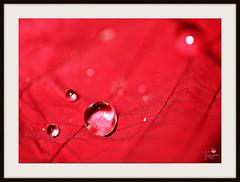 Dewdrop (Senzio Peci) Tags: red italy nature water rain leaf italia natura dewdrop sicily foglia transparent acqua rosso rugiada pioggia trasparente sicilia goccia patern oltusfotos intothedeepofmysoul