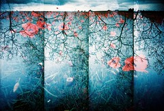Submerged... (Trapac) Tags: uk flowers blue trees red summer england film field silhouette vertical four lomo xpro lomography crossprocessed supersampler doubleexposure horizon 4 gloucestershire plasticfantastic poppy poppies vivi vivitar vignette find plasticcamera doubles ryton poppyfield omo explored vivitarultrawideslim vivitarultrawideandslim tobeconfirmed vivitarws vivitarroll42 doubles15 collaborationbetween~fiona~andtrapac with~fiona~
