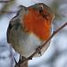 The Robin in winter  #1