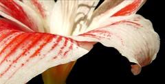winter highlight (Eisgrfin (very busy)) Tags: winter red white flower nature amaryllis highlight soe fa onblack naturesfinest ritterstern bej mywinners abigfave platinumphoto anawesomeshot diamondclassphotographer flickrdiamond theunforgettablepictures natureselegantshots mimamorflowers 100commentgroup flickrflorescloseupmacros eisgrfin