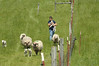 OSU_lambs