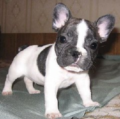 What a Face on My Boy! (TheVintageCabin) Tags: boy dog pet animal puppy sweet pierre adorable frenchie frenchbulldog supercute