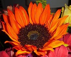 DARK TOURNESOL !!! (picolojojo) Tags: flowers orange flower color nature fleur colors fleurs heart couleurs coeur panasonic couleur tournesol mywinners anawesomeshot magicalbeauty theperfectphotographer flowersarefabulous kunstplatzlinternational