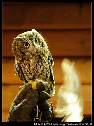 Scooter the Western Screech Owl (Megascops kennicottii)