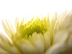 aS lOve fadeS, lOve cOmeS again... (QuakaJaQ) Tags: flower macro canon petals colours powershot birthdayflowers g9 dream0n 20012010 dreamo0n