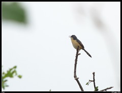 Common black chat