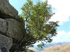 Sommet de Punta di A Bambiola : sorbier des oiseleurs
