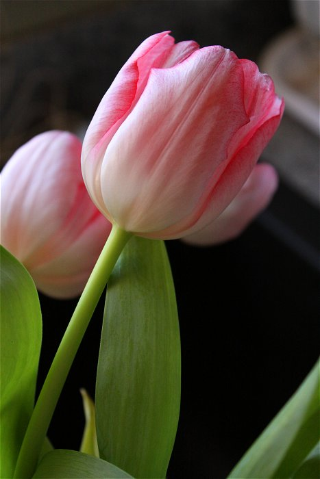 01-27-tulip1