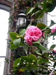 Pink Pagoda camellia