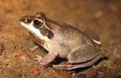 Tornier's Rocket Frog (Litoria tornieri) (Heleioporus) Tags: frog kakadu np northern territory litoria tornieri torniers