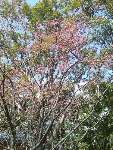 學校的櫻花