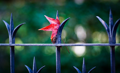 some are too fragile for winter winds (astro twilight) Tags: red green fence leaf bokeh alameda 8518 cmwdred