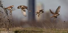 American Kestrel (Harold Stiver) Tags: falcon predator americankestrel falcosparverius