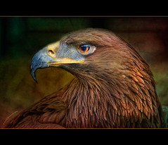 0300 Eagle (QuimG) Tags: naturaleza nature geotagged nikon eagle favorites natura textures portfolio aguila rapaz specialtouch theunforgettablepictures diamondstars quimg worldsartgallery tumiqualityphotography quimgranell joaquimgranell theoracleofbeauty thelightpainterssocietygold mesarthonorablemembersgroup gettyimagesspainq1