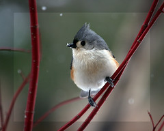 Tufted Titmouse in Red Branches (Beth Crawford 65) Tags: snow cute nature birds animals canon outdoor michigan wildlife titmouse tufted avian gentle bethcrawford