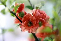 The spring is coming (-clicking-) Tags: lighting flowers red green nature floral beautiful closeup spring natural blossom lovely peachflower tt hoao flickrsportal