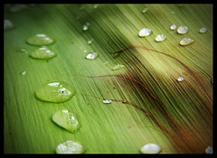52/365 - Raindrops on palm fronds (Kel_Obrien) Tags: reflection water droplets palm frond waterdrops waterdroplets project365 mywinners project36552