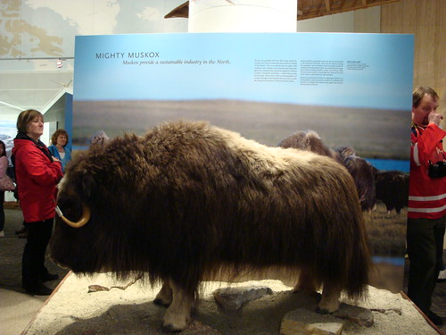 Northern House - Muskox